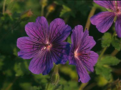 Geranium ibericum 'Alan Mayes'
