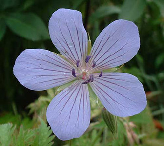 Geranium 'Blue Cloud'