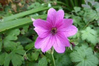 Geranium 'Elworthy Eyecatcher'
