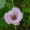 Geranium 'Coombland White '