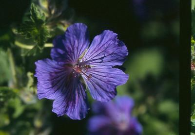Geranium magnificum 'Kloon C'