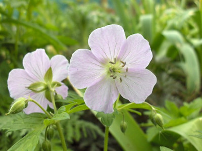 Geranium maculatum 'Beth Chatto'
