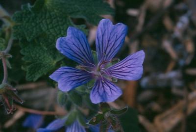 Geranium 'Stefanie'