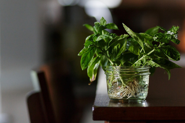 Jar filled with basil rooting a jar