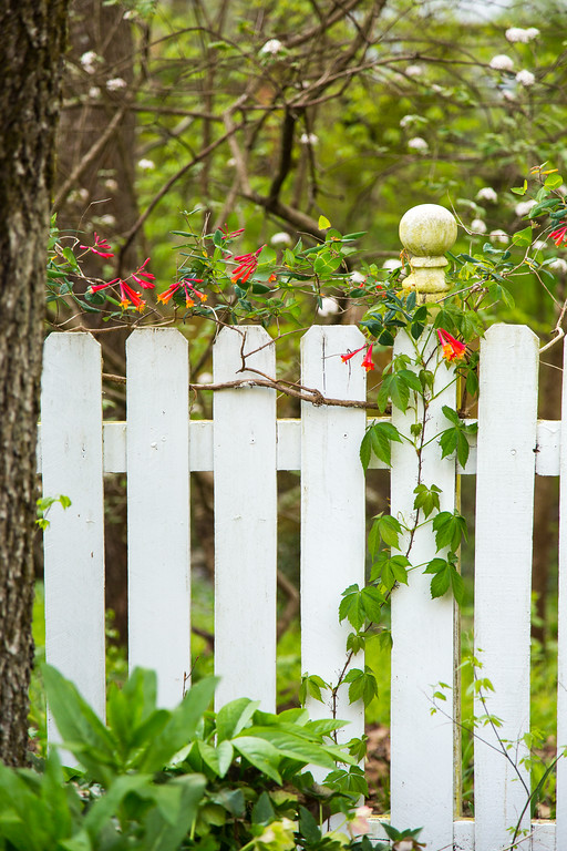 Coral Red Honeysuckle on white picket fence