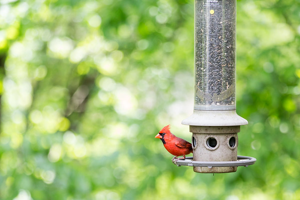 cardinal on squirrel buster bird feeder