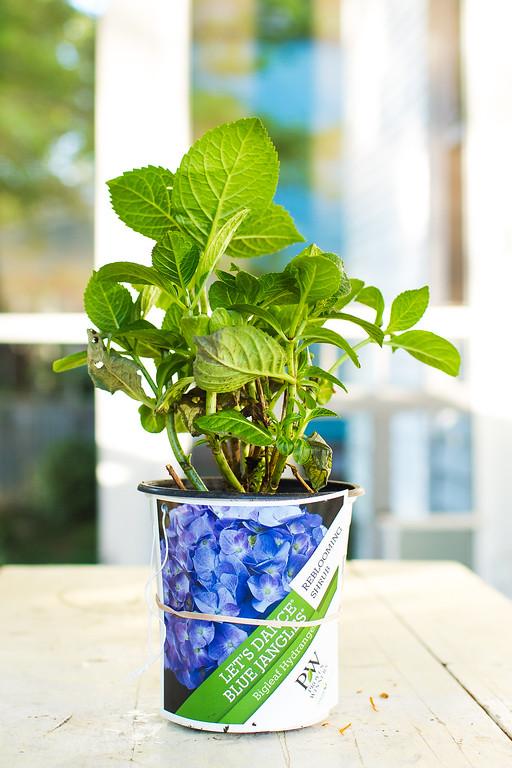 Let's Dance Blue Jangles Hydrangea macrophylla Proven Winners
