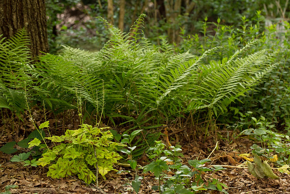 Ferns and Coral Bells