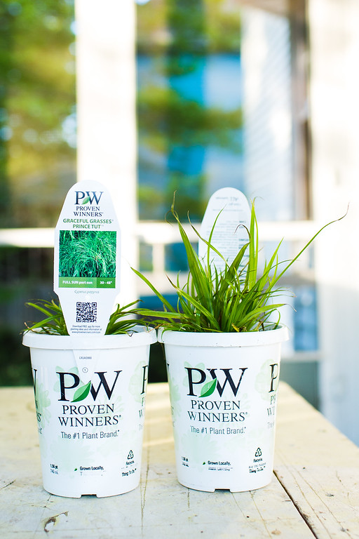 Graceful Grasses Prince Tut Cyperus Proven Winners