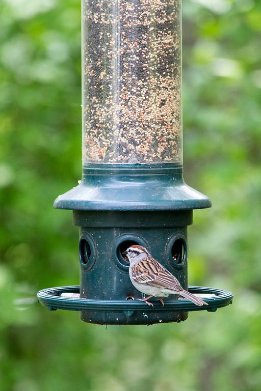 Sparrow at Wild Bird's Unlimited bird feeder