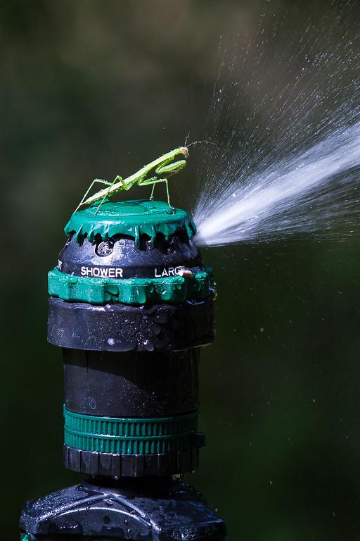 Praying Mantis on sprinkler