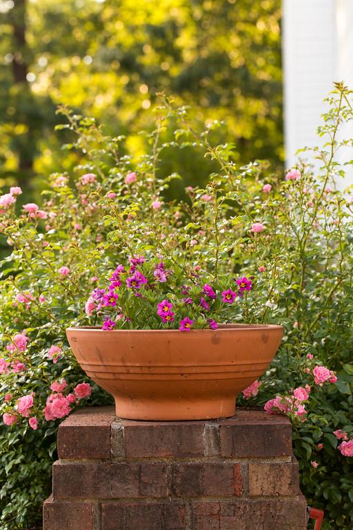 Superbells Hollywood Star Calibrachoa and Fairy ground cover roses