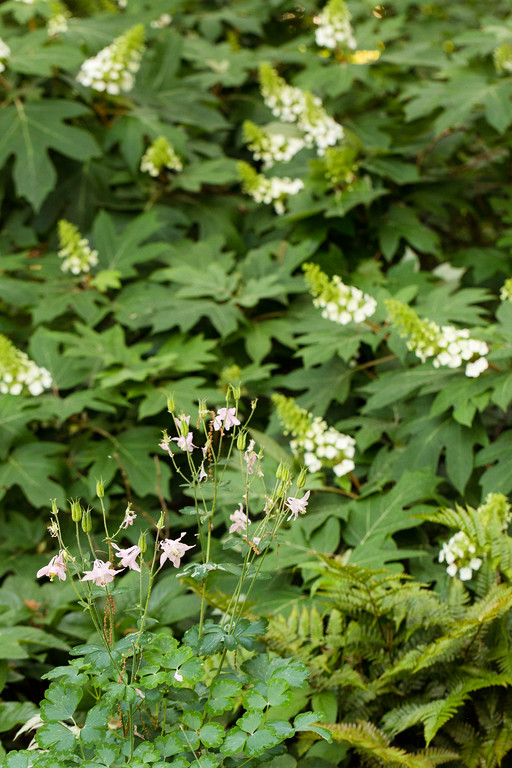 Oakleaf hydrangea, columbine, ferns