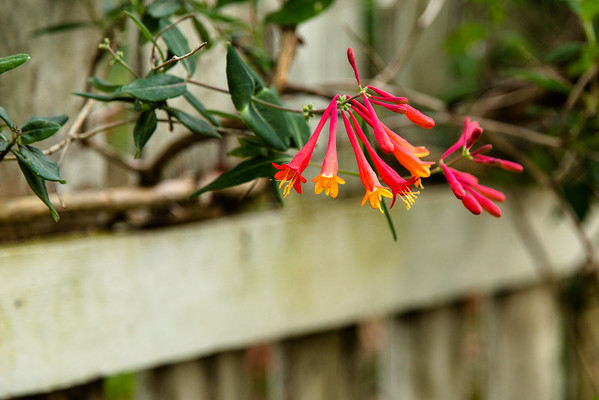 Coral Red Honeysuckle