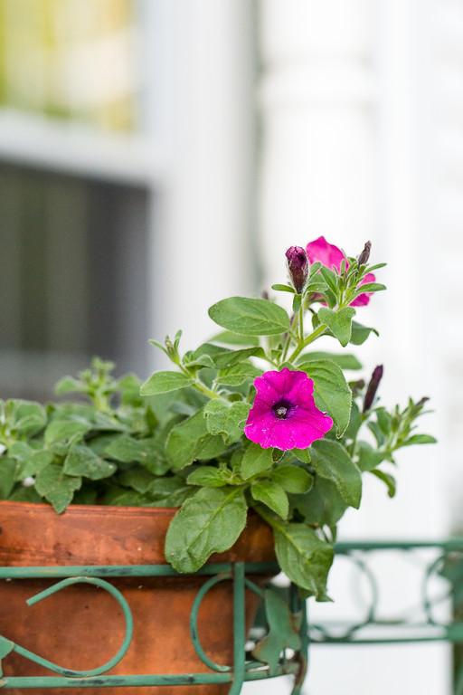 Superbells Petunias from Proven Winners