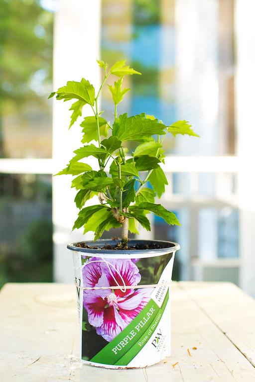 Purple Pillar Hibiscus syriacus Proven Winners