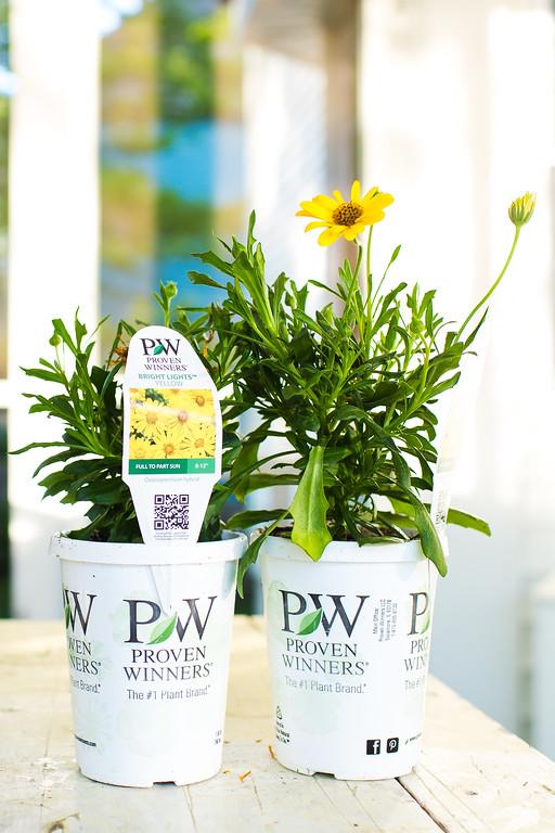 Bright Lights Yellow Osteospermum Proven Winners
