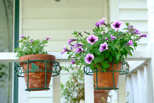 calibrachoa and petunias