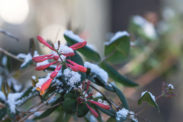 Snow on red honeysuckle