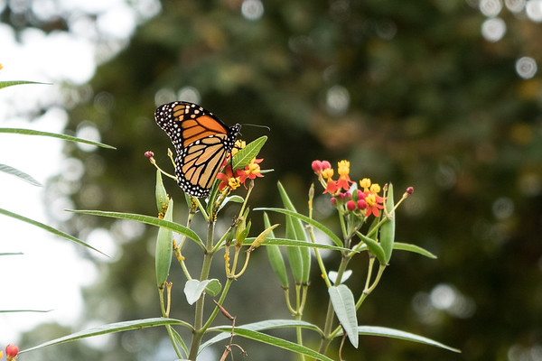 Monarch Butterfly on Butterfly Weed