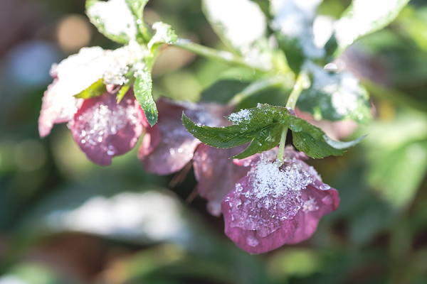 Snow on hellebores