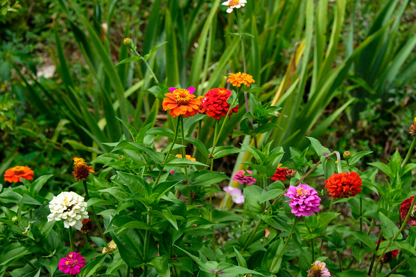 Zinnias so easy to grow from seeds