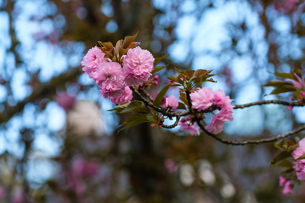 Pink flowering trees