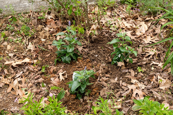 Rockin Playin the Blues Salvia from Proven Winners planted in flower bed