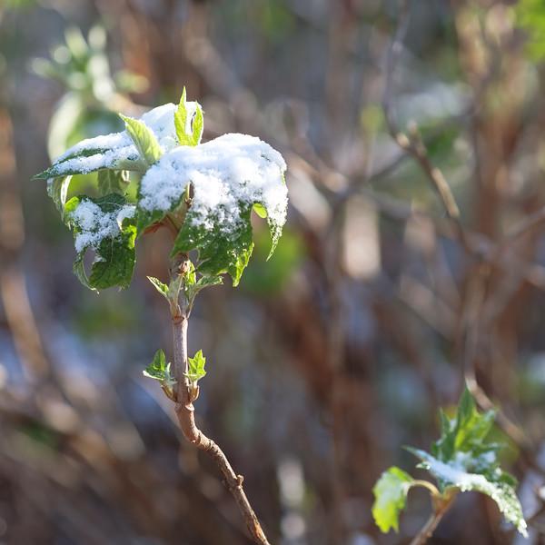 Snow on Oakleaf hydrangea