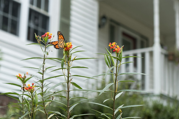 Butterfly weed with a monarch butterfly on it