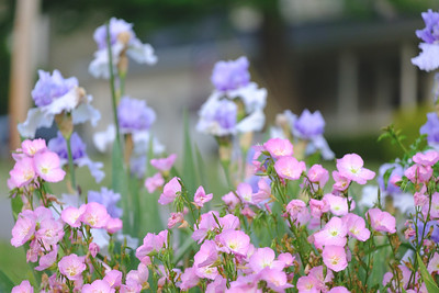 Photo of pink evening primrose
