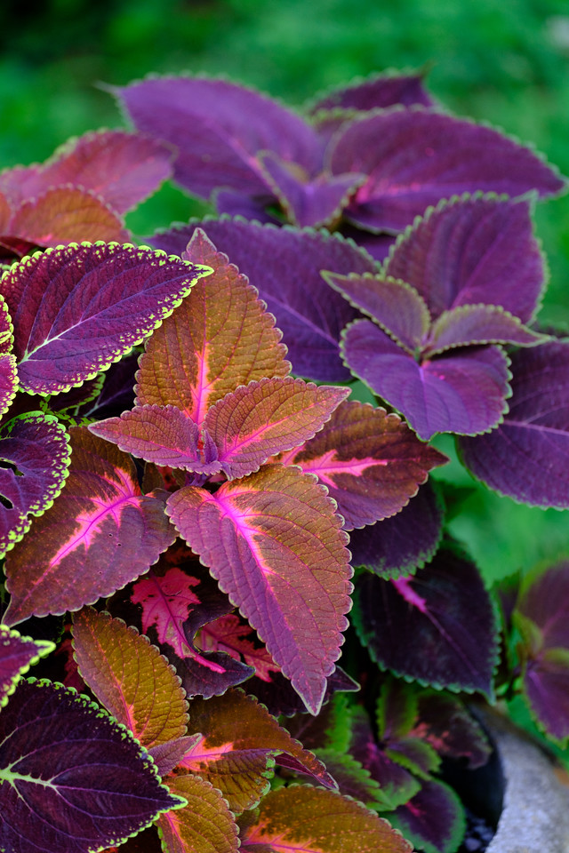 Variety of coleus leaves