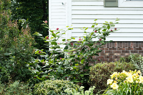 Flowering shrub against a house with other shrubs
