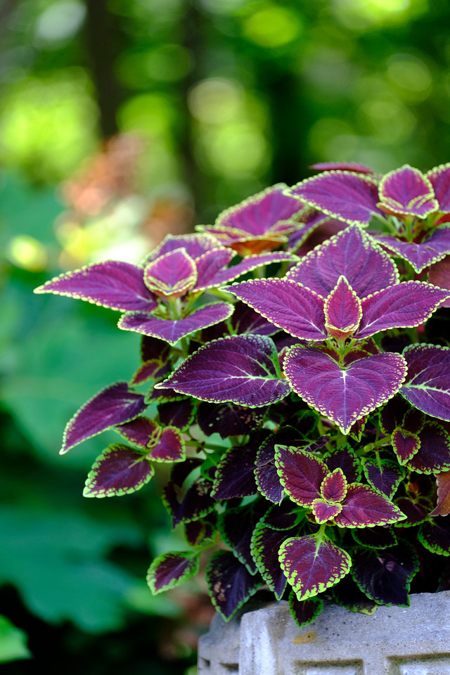 close up of coleus