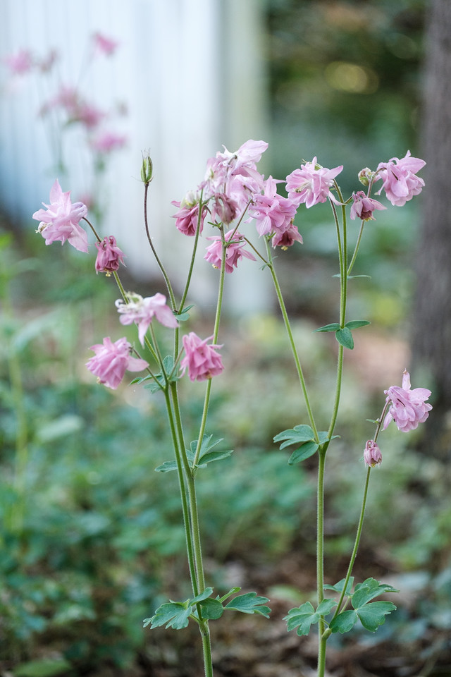 Pale pink columbine flowers