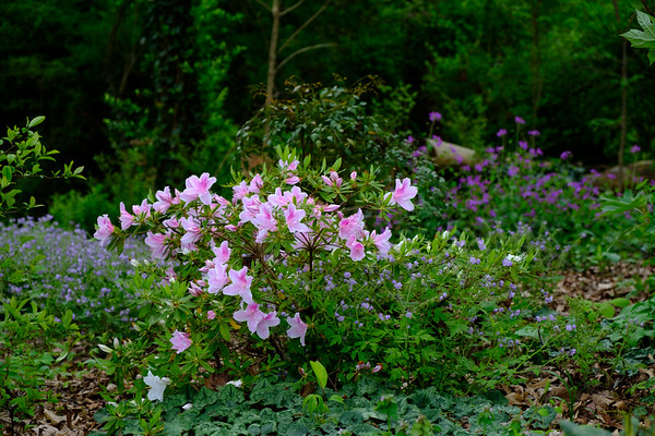 Pink flowering shrub in a woodland setting