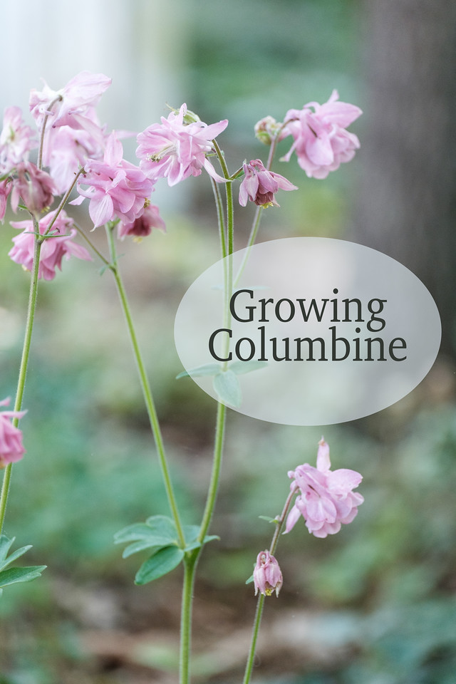 Columbine flowers with text Growing Columbine on it