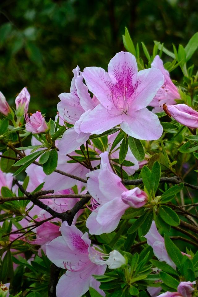 Bubblegum Rhododendron - gorgeous pink flowers!