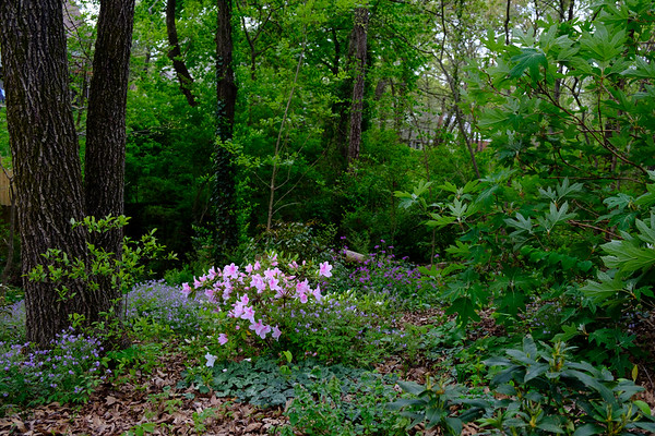 Pink Bubblegum Rhododendron in a woodland setting