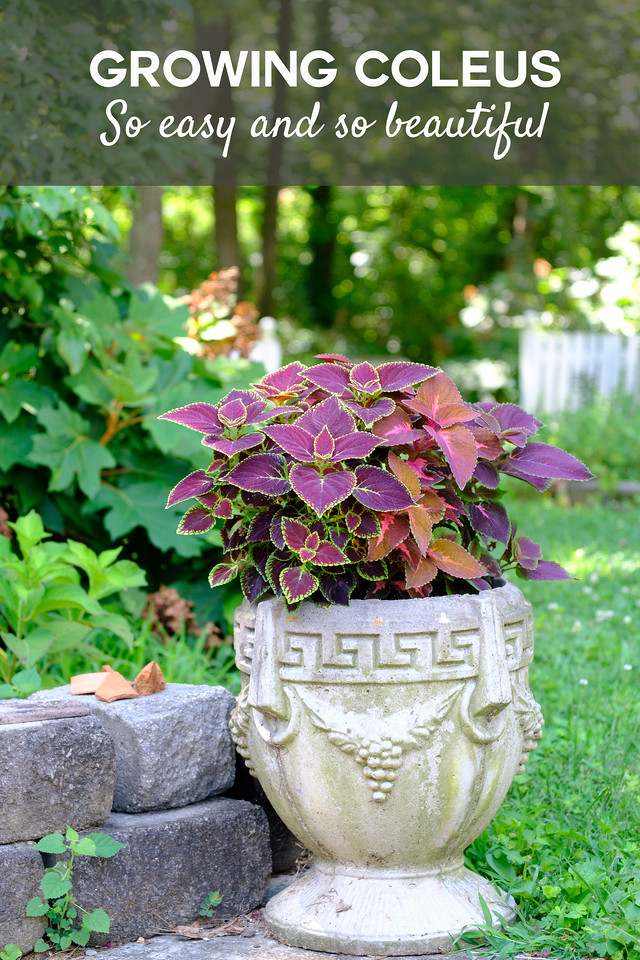 container filled with coleus and text overlay reading Growing Coleus so easy and so beautiful