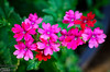 The verbena is mostly doing well, although some has been suffering at the hand of the unrelenting sun.