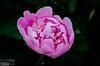 Last year we missed the Peonies flowering.