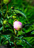 Peonies are, apparently, loved by many.