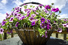 A petunia and verbena basket on our deck . . . the winds was blowing pretty good, so not as sharp as it might have been.