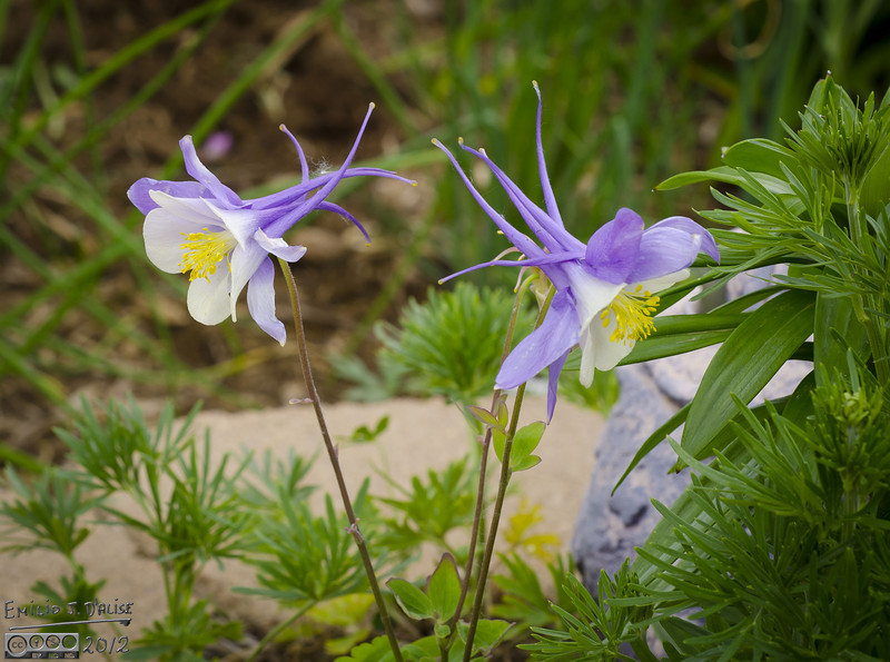 Another shot of the Colorado State Flower, the Lavender and White Columbine.
