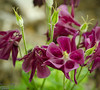 """See, I'm a guy . . . that means in my world there are something like 5-6 colors . . . and that's it!  If I was only showing these, I would say """"Look!  Red (ish) columbines!  Neat-o.""""   <br /> <br /> However, I have lots of photos, and each had different shades of colors I never heard of.<br /> <br /> All the color names in the keywords were chosen by matching the flower to a list of colors (with examples) I found in Wikipedia.  So, instead of red, this is """"burgundy"""""""