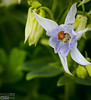 A pale blue columbine with what likely is an Asian Lady Beetle in it.