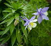 The Colorado State Flower, the Lavender and White Columbine.