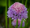 we have many, many, many chive plants.  They self-seed something fierce.  We'll be cutting a bunch of them down before they go to seed.