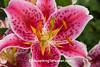Peggy's Stargazer Lily, Rock County, Wisconsin